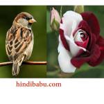एक गौरैया की प्रेम कहानी-  Love story of sparrow and white Rose