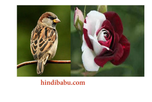 Sparrow and white rose love story in hindi