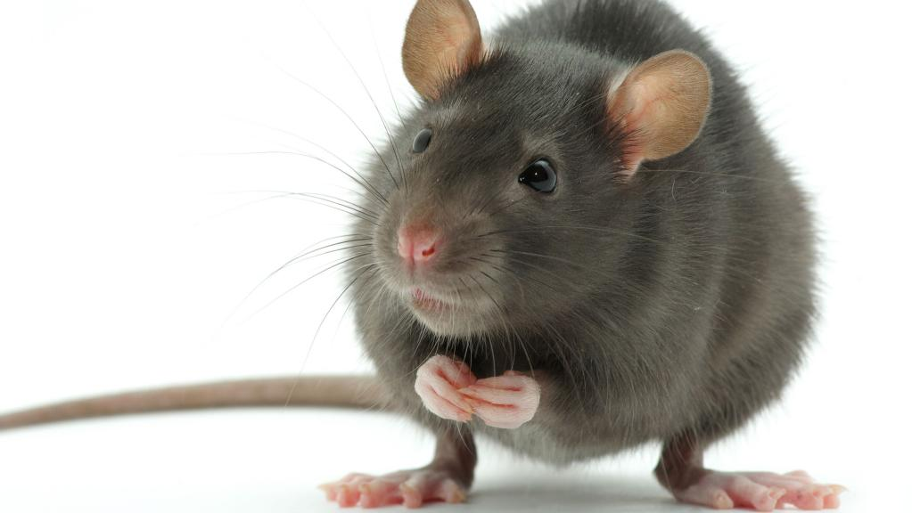 एक चूहा की मोटिवेशनल कहानी